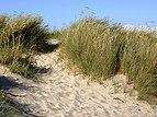 Klit tilgroet med almindeligt strandgræs