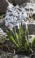 Hyacinthus - Sümbül 03.jpg