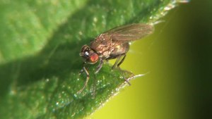 File:Hydrellia sp - 2012-09-02.ogv