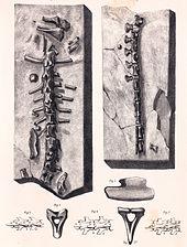 Specimen Referred To H Oweni Hylaeosaurus