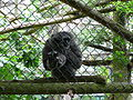 Hylobates moloch on mesh in Howletts Wild Animal Park.jpg