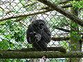 Hylobates moloch on mesh in Howletts Wild Animal Park.jpg