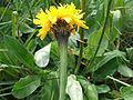 Hypochaeris uniflora a1.jpg
