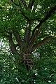 ID 642 Quercus.jpg