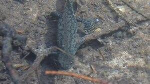 File:Ichthyosaura alpestris.ogv