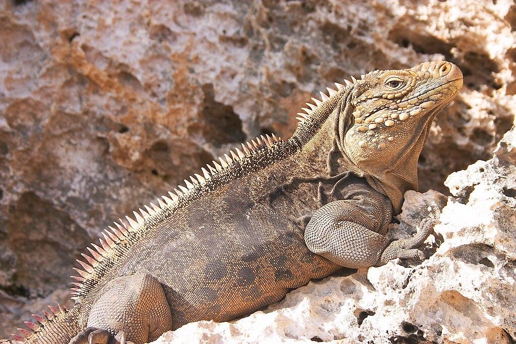 Kuba-Leguan auf der Leguan-Insel bei Cayo Largo | Bildquelle: https://en.wikipedia.org/wiki/File:Iguana_at_the_Iguanas_island_near_Cayo_Largo_shot_01.jpg © GNU Free Documentation License, | Bilder sind in der Regel urheberrechtlich geschützt