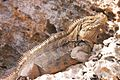 Iguana at the Iguanas island near Cayo Largo shot 01.jpg
