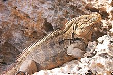 A large prehistoric-looking lizard with tan scales, black stripes, and a row of spines down its back basking on a rock faces right