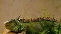 Iguana move.jpg