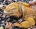 Iguana terrestre (Conolophus subcristatus), isla Santa Cruz, islas Galápagos, Ecuador, 2015-07-26, DD 12.JPG
