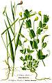 Illustration Lathyrus nissolia clean.jpg