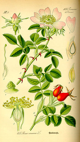 Illustration Rosa canina0.jpg