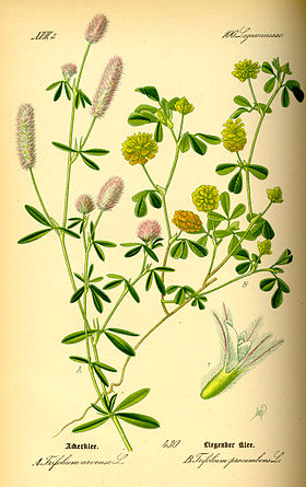 Illustration Trifolium campestris0.jpg