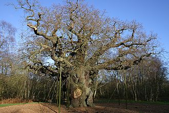 East Midlands - Major Oak in Sherwood Forest; a traditional landmark of the north-east Midlands. The current Sheriff of Nottingham is Glyn Jenkins