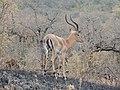 Impala, the most elegant and abundant antelope of Africa AJTJ.jpg