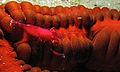 Imperial Partner Shrimp (Periclimenes imperator) on Feather Mouth Sea Cucumber (Synapta maculata) (8468832744).jpg