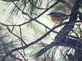 Indian Blue Robin (14391290409).jpg