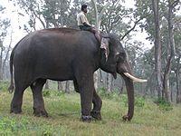 Indian Elephant.jpeg