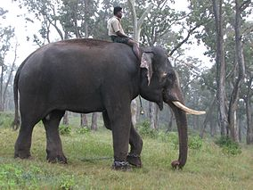 Indian Elephant.jpeg