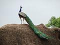 Indian Peafowl - Peacock pic3.jpg