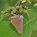 Indian Red Flash (Rapala jarbus) on Cassia fistula (Amaltas) at Hyderabad, AP W IMG 7184.jpg