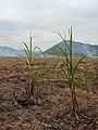 Industria azucarera de la Huasteca Potosina (Cosecha).jpg