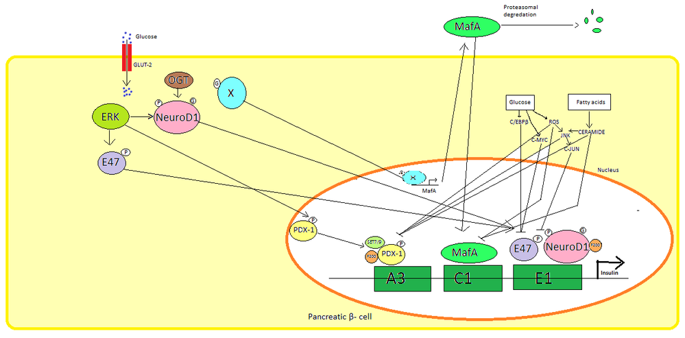 Diagram of insulin regulation upon high blood glucose Insulin gene activation.png