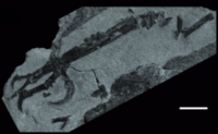 Intiornis holotype left foot
