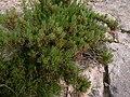 Inula crithmoides Sliema Malta 02.jpg