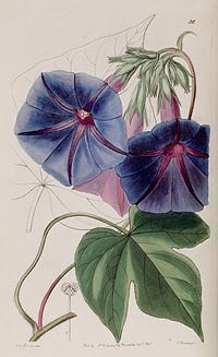Ipomoea indica (as Pharbitis leari) Edwards's Bot. Reg. 27. 56. 1841