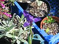 Iris aphylla - Flickr - peganum (3).jpg