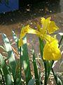 Iris pseudacorus RHu 01.JPG
