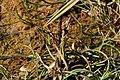 Ishavsstarr - Carex subspathacea0199 - Flickr - Ragnhild & Neil Crawford.jpg