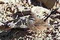Israel. Scrub Warbler (15812917612).jpg