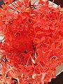 Ixora coccinea (India) (1).jpg