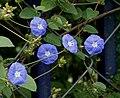 Jacquemontia violacea syn J pentantha in Hyderabad, AP W2 IMG 0037.jpg