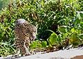 Jaguar (Panthera onca) young male walking on the sandbank ... (48697939187).jpg