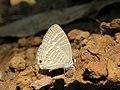 Jamides celeno - Common Cerulean mud puddling at Peravoor (20).jpg