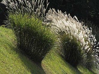 Miscanthus sinensis - Image: Japanese pampas grass ススキの穂波PB080105