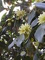 Japanese star anise (Illicium anisatum) flower.jpg