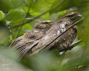 Javan frogmouth - Image: Javan Frogmouth (Batrachostomus javensis)