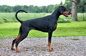 Doberman Pinscher - Natural Dobermann.