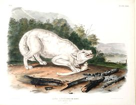 John James Audubon - White American Wolf.jpg