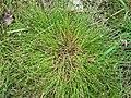 Juncus bufonius plant (04).jpg