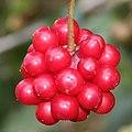 Kadsura japonica (fruits s2).JPG