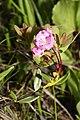Kalmia microphylla 0602.JPG