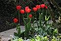 Karden, Rote Tulpen (2020-04-14 Sp).JPG