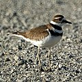 Killdeer (4631275245).jpg