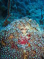 Knopia octocontacanalis.jpg