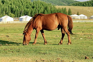 Mongolian horse - Short, stocky Mongol horse grazes by traditional ger tent dwellings